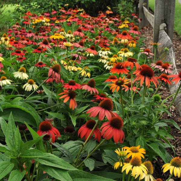 Echinacea Cheyenne Spirit Walters Gardens Inc