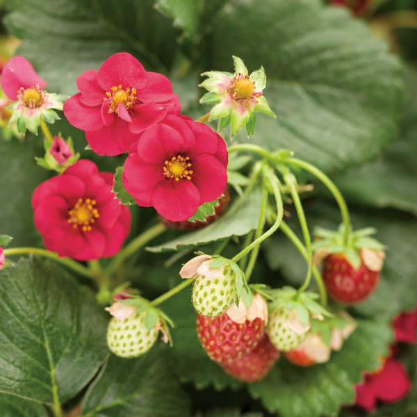Fragaria BERRIED TREASURE™ Red Ornamental and Edible Everbearing Strawberry