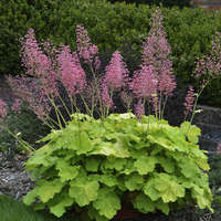 Heuchera 'Pretty Pistachio'