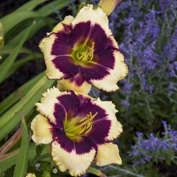 Hemerocallis 'Blackthorne' Daylily
