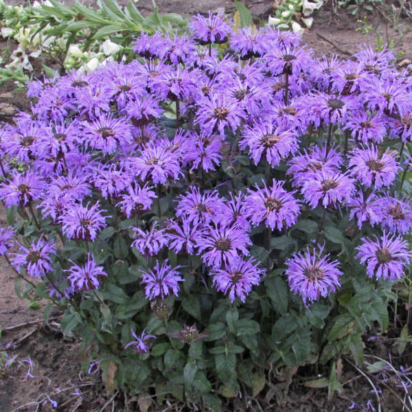 Monarda 'Blue Moon' Bee Balm
