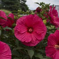 Hibiscus 'Summer in Paradise'