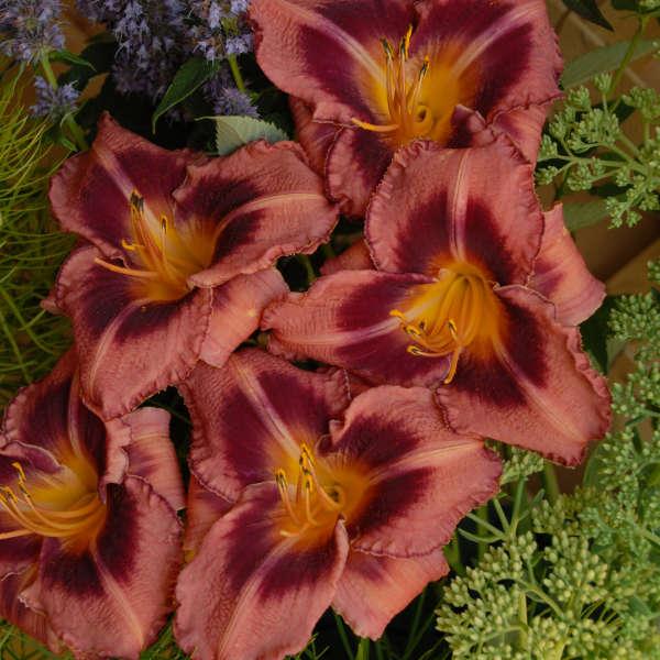 Hemerocallis 'Just Plum Happy' Daylily