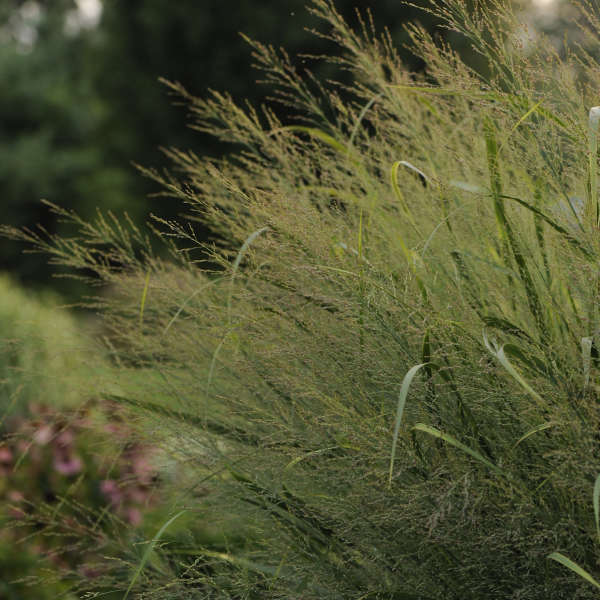 Panicum 'Northwind' Upright Switch Grass