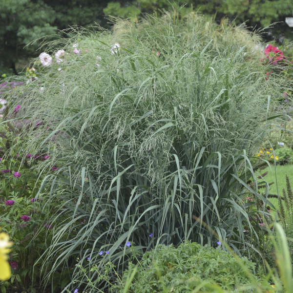 Panicum virgatum 39 blue fountain 39 pp28192 walters gardens for Blue fountain grass