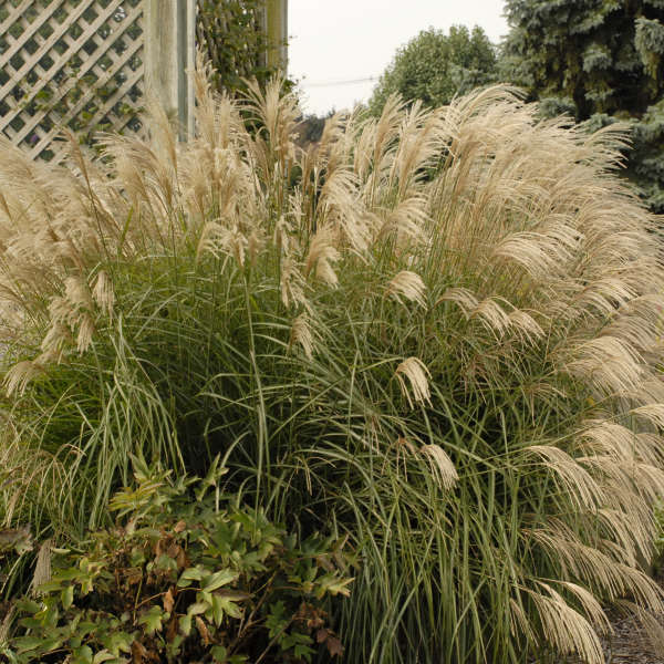 Miscanthus 'Graziella' Ornamental Grass