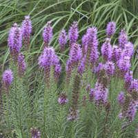 Liatris 'Floristan Violet'