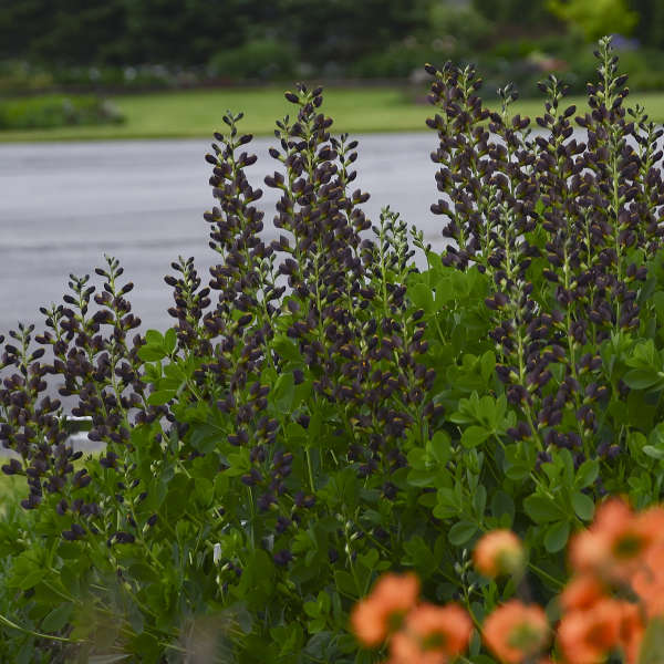 Baptisia 'Dutch Chocolate' False Indigo