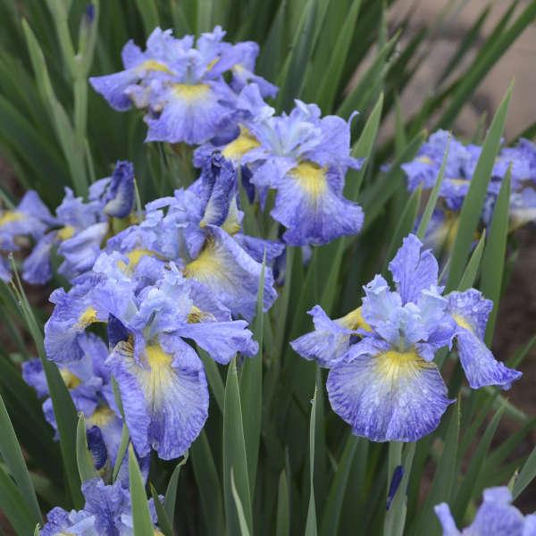 Iris 'Cape Cod Boys' Siberian Iris
