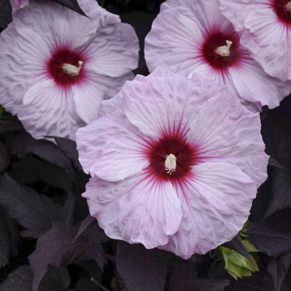 Hibiscus 'Dark Mystery' Rose Mallow