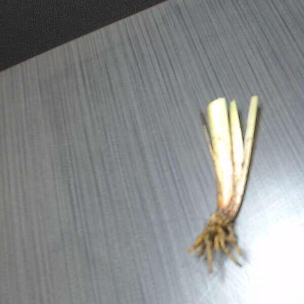 Sisyrinchium 'Lucerne' Blue-Eyed Grass