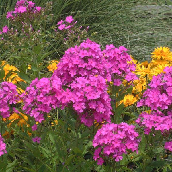 Phlox 'Robert Poore' Tall Garden Phlox