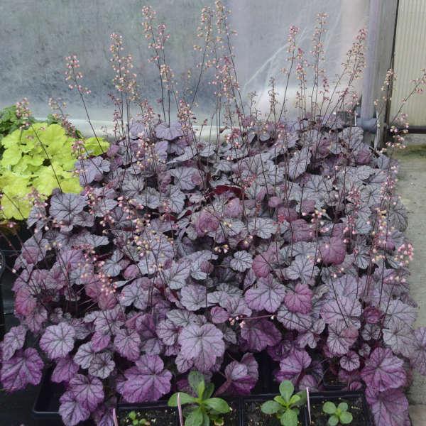 Heuchera 'Rose Quartz' Coral Bells