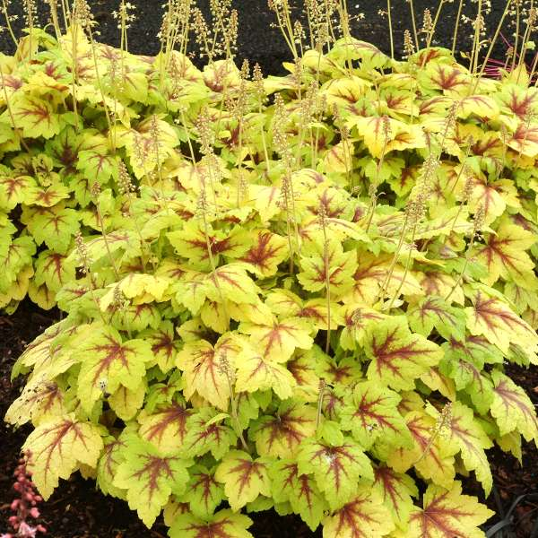 Heucherella 'Stoplight' Foamy Bells