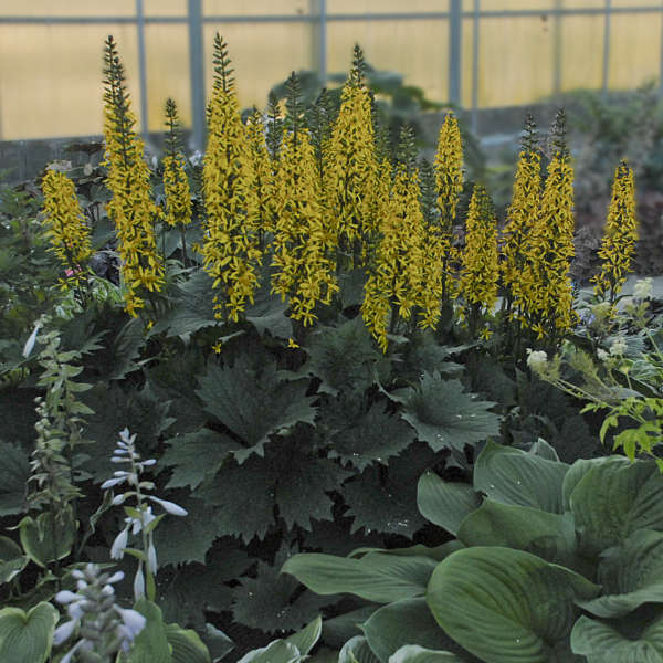 Ligularia 'Bottle Rocket' Ligularia