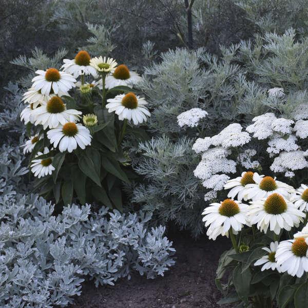 Echinacea 'The Price is White' Coneflower