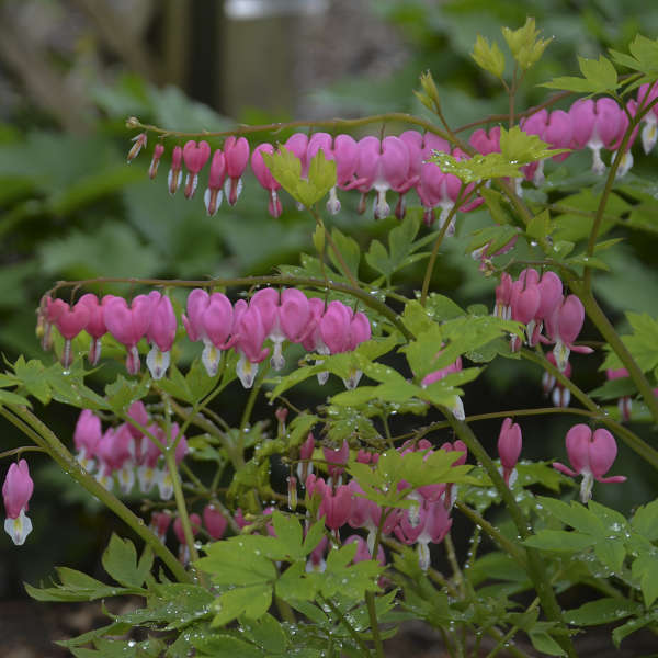 Dicentra spectabilis Old-Fashioned Bleeding Heart