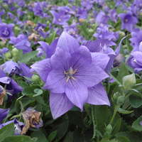 Platycodon 'Astra Double Blue'