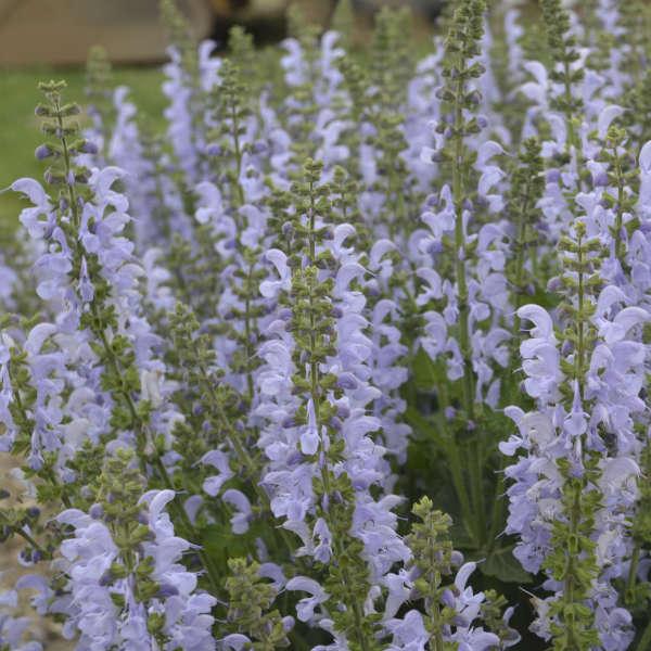 Salvia 'Vanity Flair' Perennial Salvia