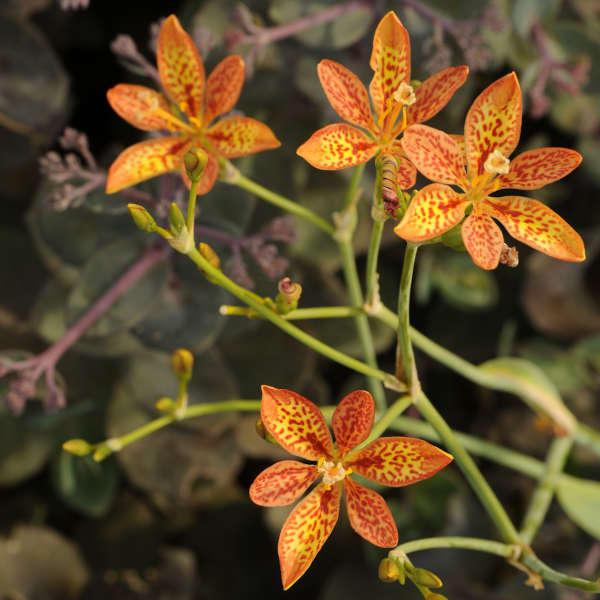 Belamcanda chinensis Blackberry Lily