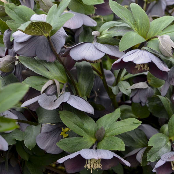 Helleborus 'Vegas Nights' Lenten Rose