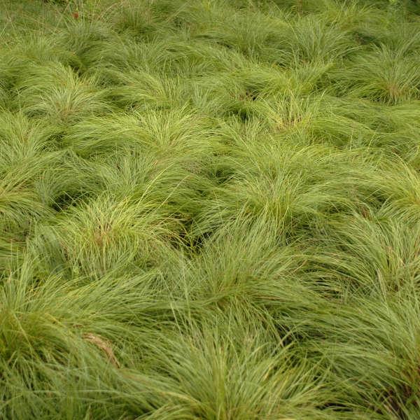 Sporobolus heterolepis Prairie Dropseed