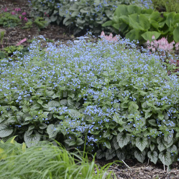 Brunnera 'Jack Frost' Heartleaf Brunnera