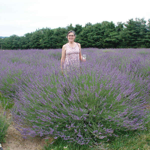 Lavandula PHENOMENAL&#174 English Lavender