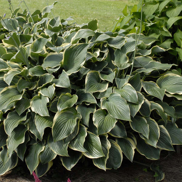 Hosta Regal Splendor Walters Gardens Inc