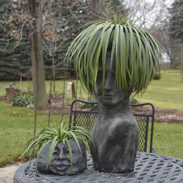 Mangave 'Bad Hair Day' Mangave