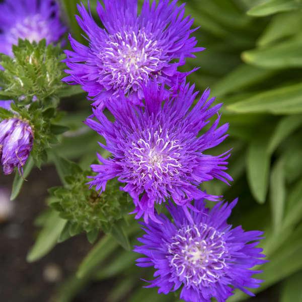 Stokesia 'Honeysong Purple' Stokes' Aster