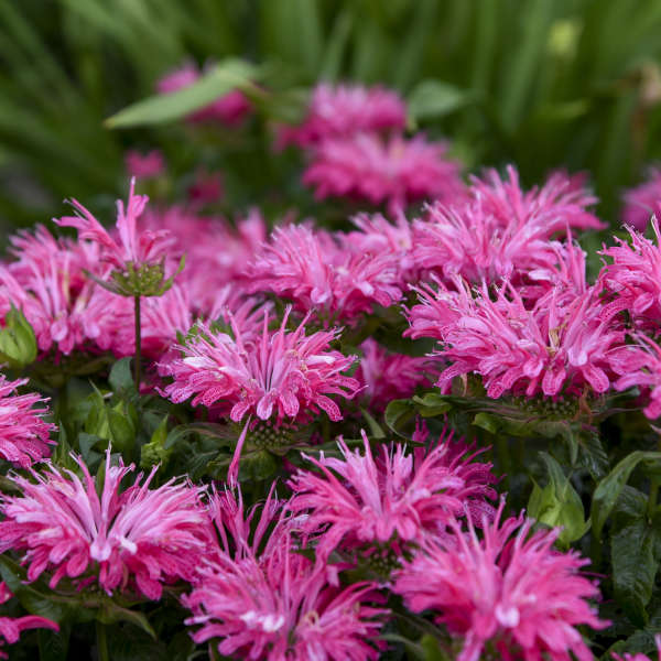 Monarda 'Electric Neon Pink' Bee Balm