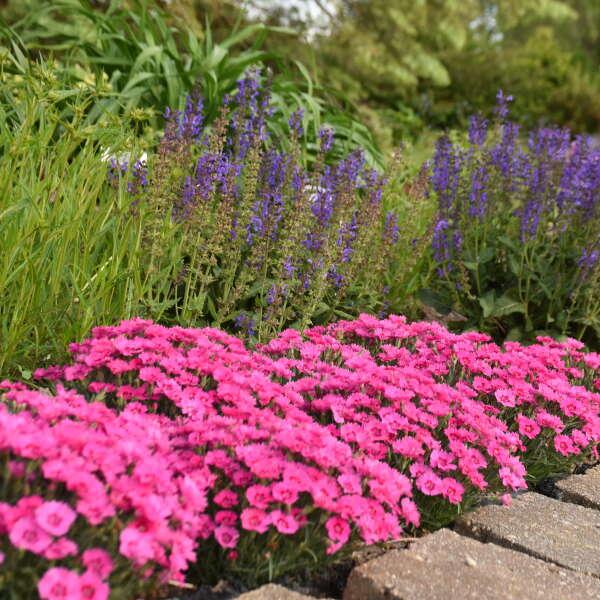 Dianthus 'Paint the Town Fancy' Pinks