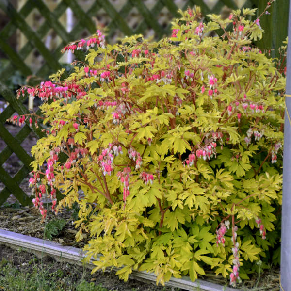 Dicentra 'Gold Heart' Old-Fashioned Bleeding Heart