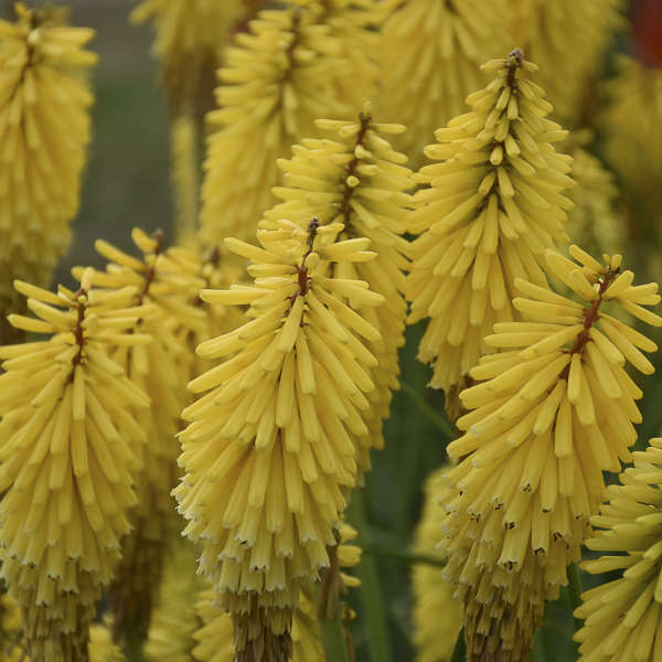 Kniphofia 'Gold Rush' Red Hot Poker