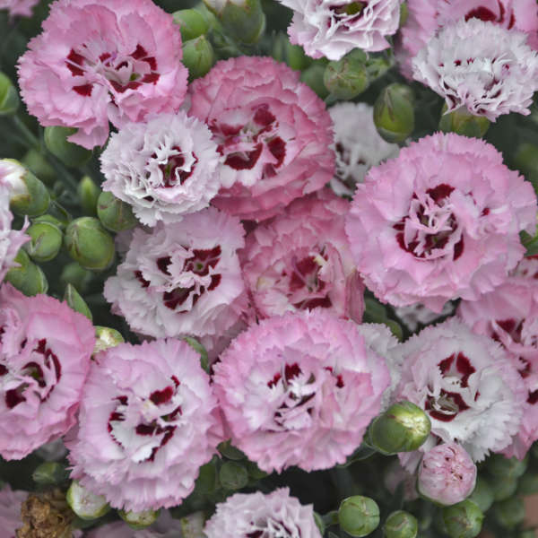 Dianthus 'Appleblossom Burst' Pinks