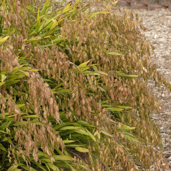 Chasmanthium latifolium Northern Sea Oats