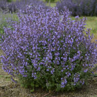 Nepeta 'Kitten Around'