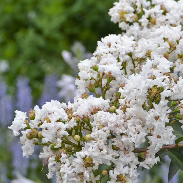 Lagerstroemia 'Like a Latte' Crapemyrtle