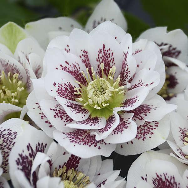Helleborus 'Confetti Cake' Lenten Rose