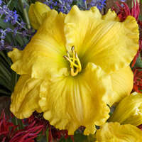 Hemerocallis 'Majestic Move'