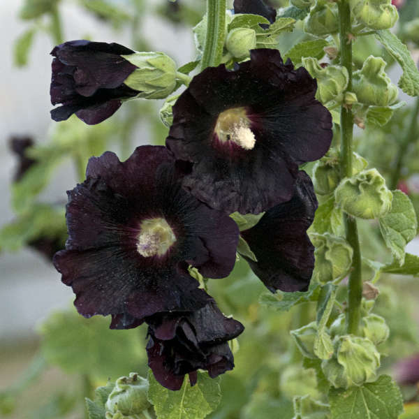 Alcea 'Blacknight' Hollyhock