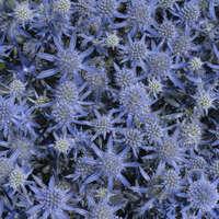 Eryngium 'Blue Glitter'
