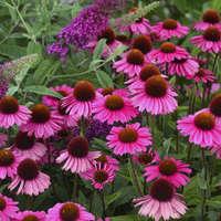 Echinacea 'Sensation Pink'