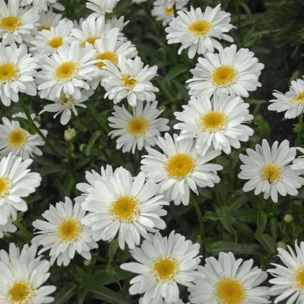 Leucanthemum superbum highland white dream walters gardens inc download images mightylinksfo