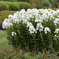 Phlox 'Backlight'