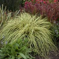 Carex 'Evergold'