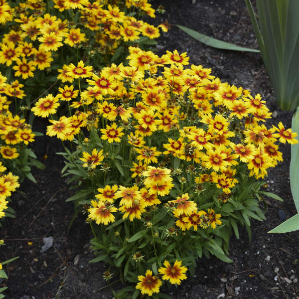 Coreopsis UPTICK&#8482 Gold & Bronze Tickseed
