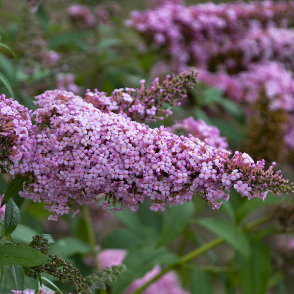 Buddleia 'Princess Pink' Butterfly Bush