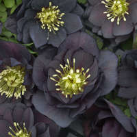 Helleborus 'Dark and Handsome'